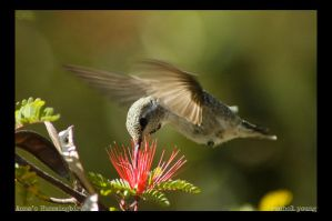 Anna's Hummingbird by rgphoto777