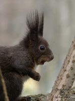 Squirrel 72 by Cundrie-la-Surziere