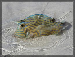 Scrawled Cowfish 40D0000759 by Cristian-M