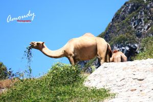 CAMEL by mustange