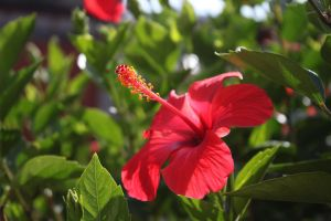 Red Flower by photoshop-stock