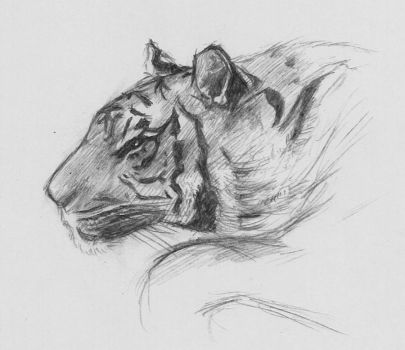 tiger sketch by RidderCoenraad