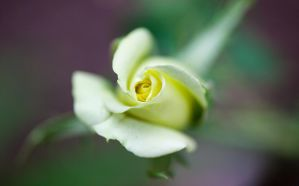 Rose Bud by DreamMover