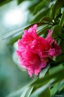 Rhododendron by George---Kirk