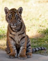 Tiger Cub Portrait by robbobert
