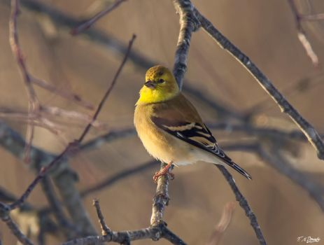 American Goldfinch in Winter Plumage 3 by Nini1965