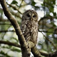 30/52 ~ Barred Owl by charliesmyangel