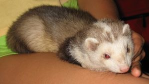 Ferret by PsychicPsycho