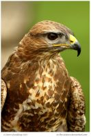 Beautiful Buzzard 54 of 365 by In-the-picture