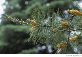 White Pine Spring Rain by butterfly36rs
