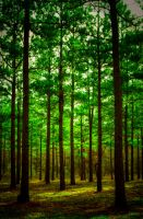 Congo Pines III HDR by joelht74