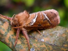 Triodia Sylvina by iriscup