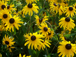 Rudbeckia Hirta by whatsername57