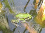 frog by smajli