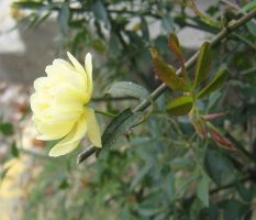 yelow rosaceae 04 by CotyStock