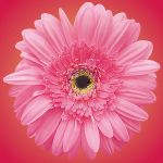 pink flower by sebalaura