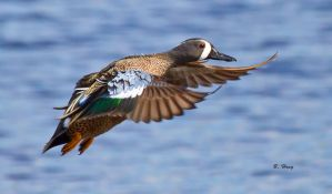 Blue-wing Teal by Grouper