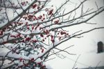 Winter Berries 2 by missbunny