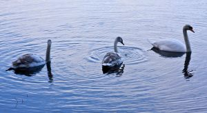 Winter Swans II by DundeePhotographics