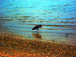 Oyster Catcher by WolfieMaster