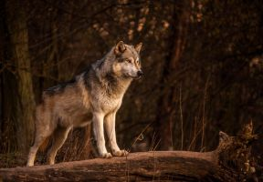 Timber Wolf by JoelAJD