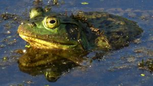 Bullfrog by PamplemousseCeil
