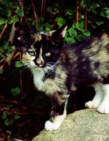 Calico Kitten 2 by kbhollo
