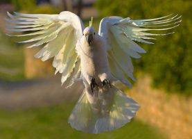 Sulphur Crested Cockatoo 141 by chezem
