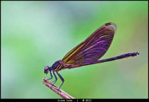 Damselfly - Unidentified by alokethebloke