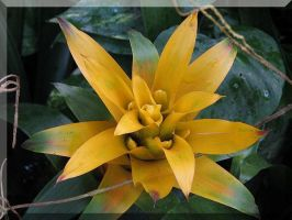 Yellow Bromeliad by picworth1000wrds