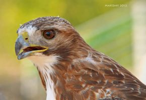 Hawk  - June 2012 by Martzart