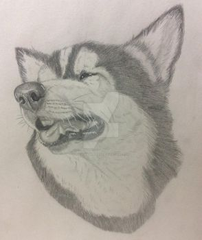 Siberian Husky by Wild-As-Wolves