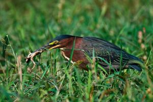 Green Heron and a Frog by Merlinstouch