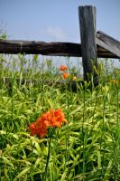 Day Lilly and Fence by AppareilPhotoGarcon