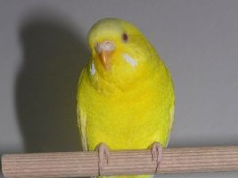 My yellow budgie named Okruszek by Bona299