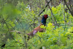 Common pheasant (Phasianus colchicus) by PhotoDragonBird