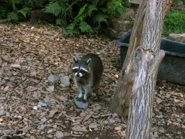 racoon 03 by Pagan-Stock