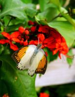 Butterfly IV by PamplemousseCeil