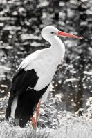 stork by Tschisi