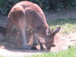 Wallaby 05 by Unseelie-Stock