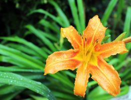 Lily by Anneay9