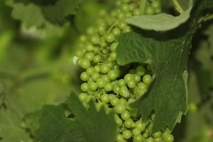 New Grapes by labronico7