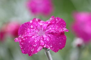 Raindrops on pretty pink by suecal