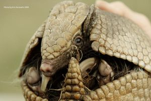 Armadillo in the palm by entropicuniverse