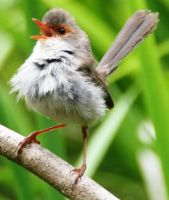 Young singing Fairy-wren by LESHA