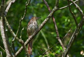 Brown Thrasher by BirdinByNoon