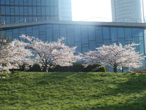 Cherry Blossoms in the town 3 by ajoj