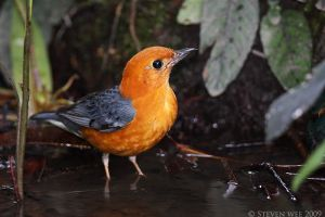 Orange headed Thrush Bath time by garion