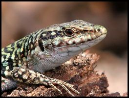 Sicilian Lizard by chrisdarmanin