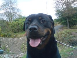 the rottie smile by sugarskull-tattoos